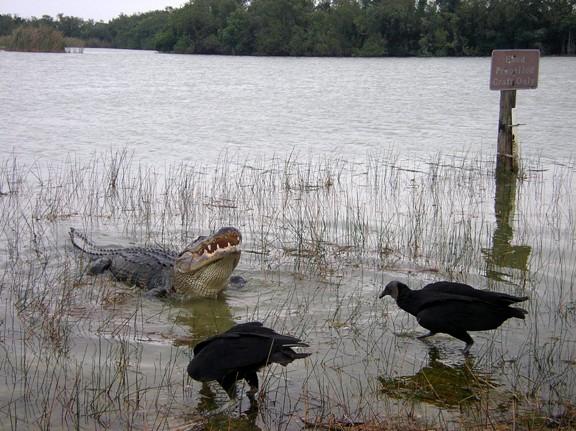 Alligator openmouth